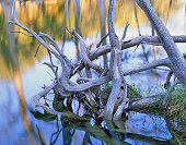 Charles Kruvand, Cypress Tree Roots and Reflections