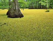 Charles Kruvand, Duckweed and Cypress Trees